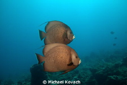 Gray Angelfish swimming above the Abbey Too reef on the H... by Michael Kovach 